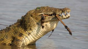 Nile_Crocodile_Crocodylus_niloticus_catches_antelope_prey-1