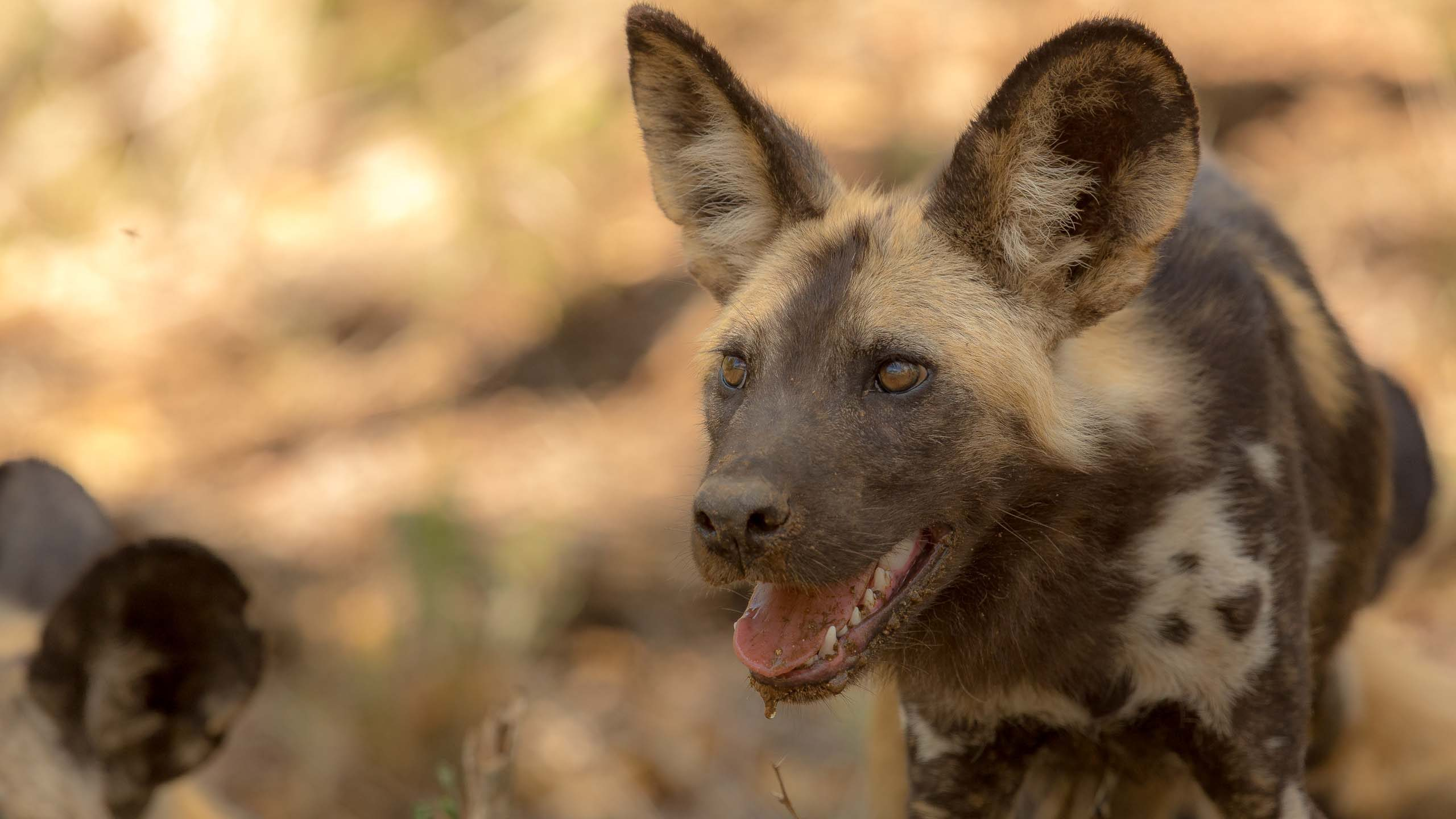 Painted_Wild_Dog_Lycaon_pictus-1